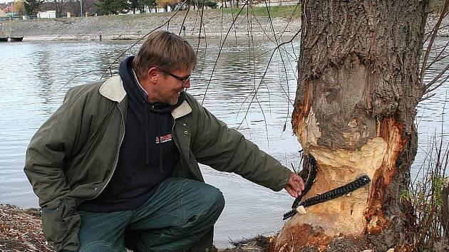 Bobrovi podlehl i tento strom pod břeclavským jezem.