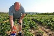 O zhruba dva týdny dřív letos začal samosběr jahod v Moravském Žižkově na Břeclavsku. Hned první den plnily košíky oblíbeným ovocem stovky lidí.