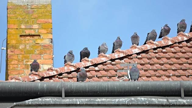 Ochránci přírody sledují v Břeclavi pohyb holubů.