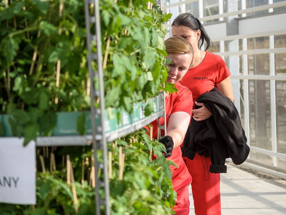 Ve skleníku u Velkých Němčic začali se sázením prvních rostlin rajčat.