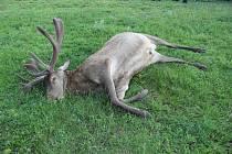 Výstřel za tři sta tisíc. Pytlák skolil v bulharské oboře trofejního jelena.