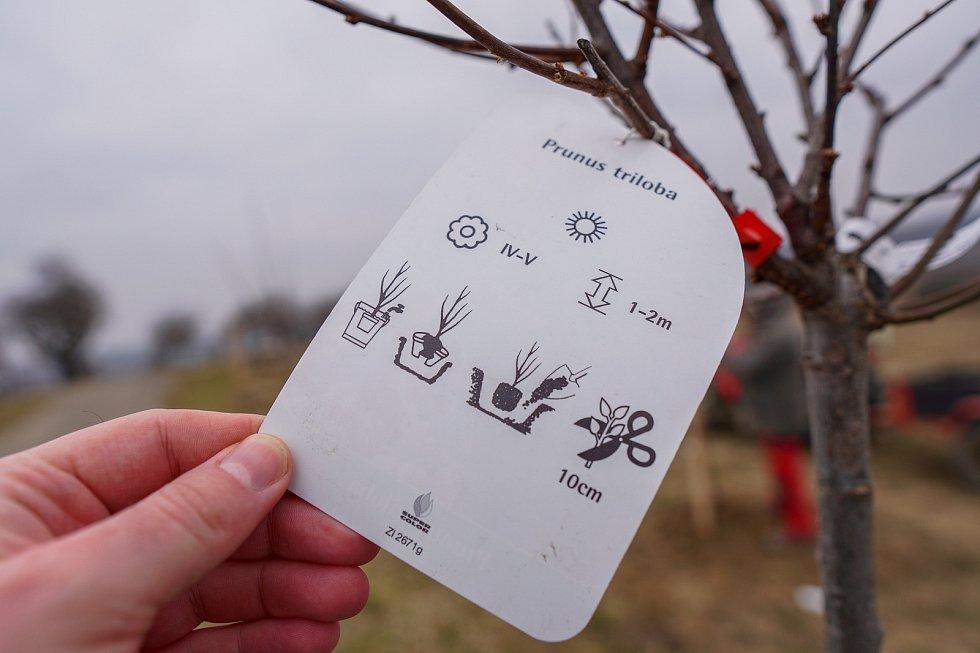 Mandloňové sady v Hustopečích se rozrostly o patnáct nových druhů tohoto stromu. Arboretum u rozhledny má zpestřit návštěvu turistům. O mandloních se na místě mnohé dozvědí. Za výsadbou stojí majitelka Hustopečské mandlárny Kateřina Kopová. 24. března 202