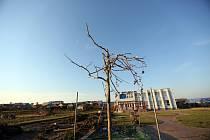 Stovky poničených nebo poškozených stromů zůstaly po řádění tornáda na Břeclavsku a Hodonínsku.