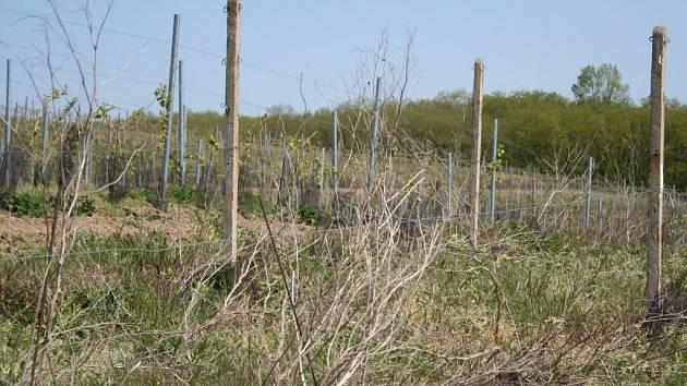 Zanedbaný vinohrad