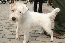 Jednoletý teriér Cvik byl na sobotním jarním svodu loveckých psů v Hlohovci raritou