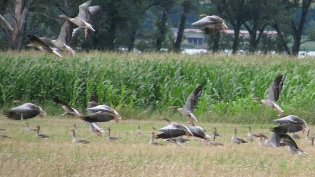 Tisíce hus v okolí Nesytu