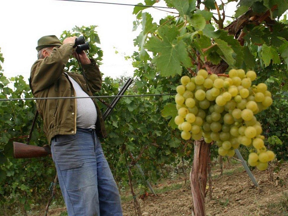 Hotař hlídá vinici před nálety špačků. Ilustrační foto.