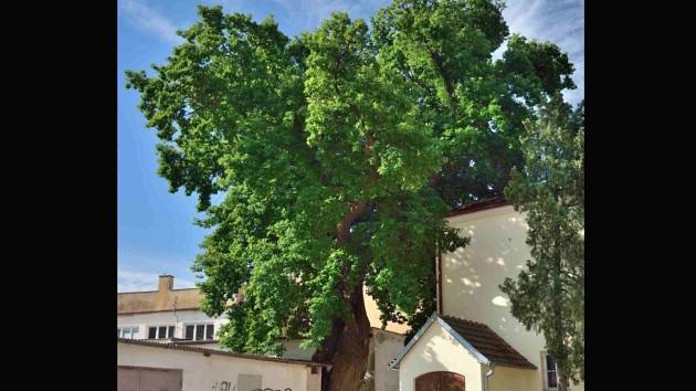 Památný dub v centru Mikulova.