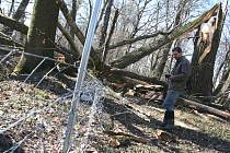 Správce lednického parku Oto Bernad stojí u plotu, který poničil mohutný spadlý strom (následek vichřice Emma).