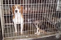 V plastové rouře se schovávala fenka bígla se štěnětem. Zvířata našla netradiční útočiště v Lanžhotě u dálničního mostu.