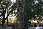 Mikulovští budou muset vykácet několik stromů v různých částích města.