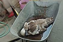 Strážníci naložili s raněnou labutí, kterou zachránili u Apolla, vskutku oroginálně. Na dvoře služebny jí vytvořili jakési umělé jezírko.