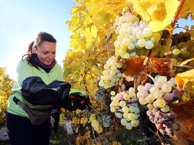 Vinobraní končí. Ve víně lidé podle vinařů ucítí letošní slunce