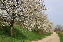 Morkůvští vykáceli náletové křoviny, staré suché stromy nahradí mladými stromky zjara.