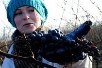 Ledové hrozny pomalu mizí z vinic. Později z nich vznikne delikátní ledové víno.