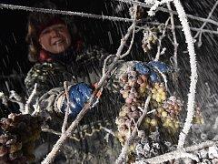 Sběr zmrzlých hroznů pro ledové víno ve vinařství Chateau Valtice – Vinné sklepy Valtice.