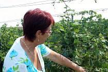 Matka poškozené Alena Dufková ukazuje zkroucené listy vinné révy, kterou jim někdo na jaře spálil chemikálií.