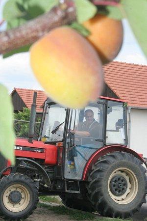 Zaměstnanci a brigádnici Patrie Kobylí trhají meruňky vobřím sadu každý den.