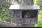 Hnízdící kalouse mohou lidé sledovat online na videu