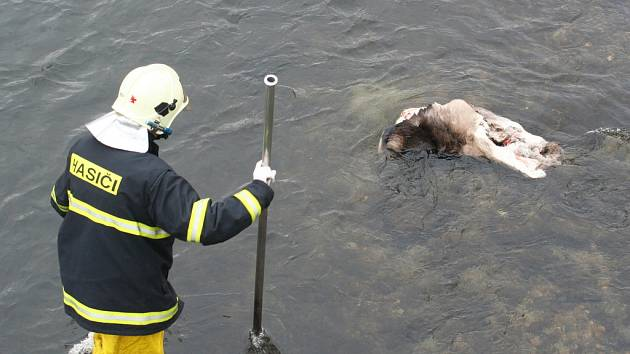Břeclavští hasiči loví z Dyje ostatky zvířete.