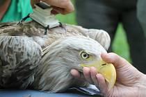 Vyléčená samice vzácného orla mořského dostala vysílačku pro sledování pohybu. Ochranáři ji poté vypustili v oboře Soutok u Lanžhota zpátky do přírody.