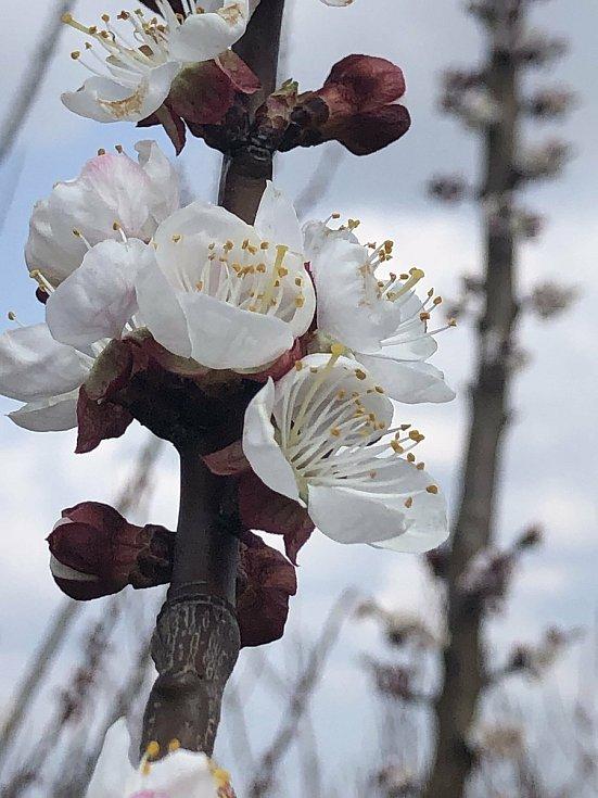 Meruňky v květu.