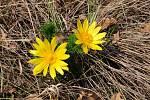 V Chráněné krajinné oblasti Pálava roste například hlaváček jarní.