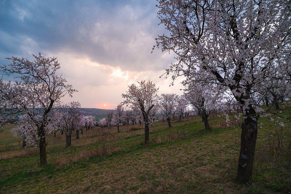 Kvetoucí mandloňové sady v Hustopečích.