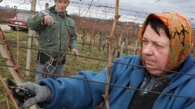 Zimní prostříhávání vinice ve Velkých Bílovicích