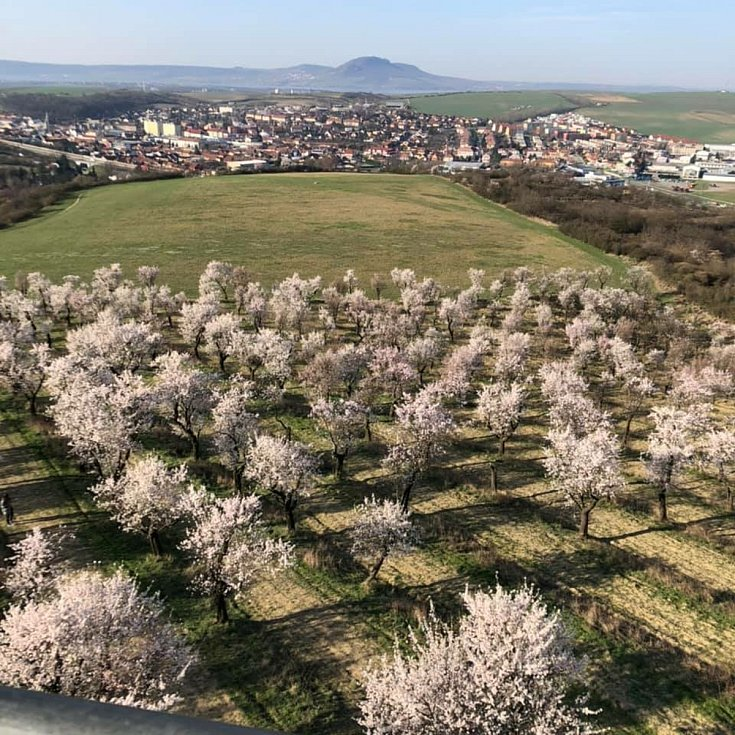Rozkvetlé mandlońové sady v Hustopečích. Foto: Martina Procházková Kucejová