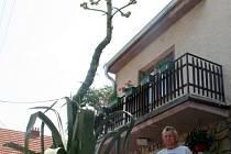 Díky pětatřicetileté péči vyrostlo agáve do výšky sedm a půl metru.