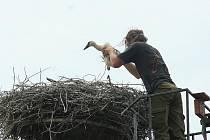 Ochránci přírody v úterý v Sedleci stěhovali hnízdo čapího páru s mláďaty. Kvůli stížnostem sousedů. Ptačí trus totiž končil na jejich domě.