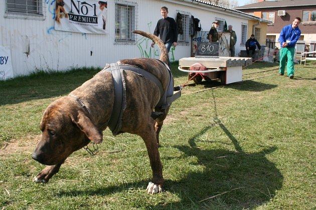 Psi tahali po kolejích těžká břemena naložená na vozíku. A jejich páníčci je povzbuzovali k co nejlepším výkonům.