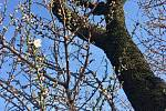 Mandloňový sad v Hustopečích kvete.