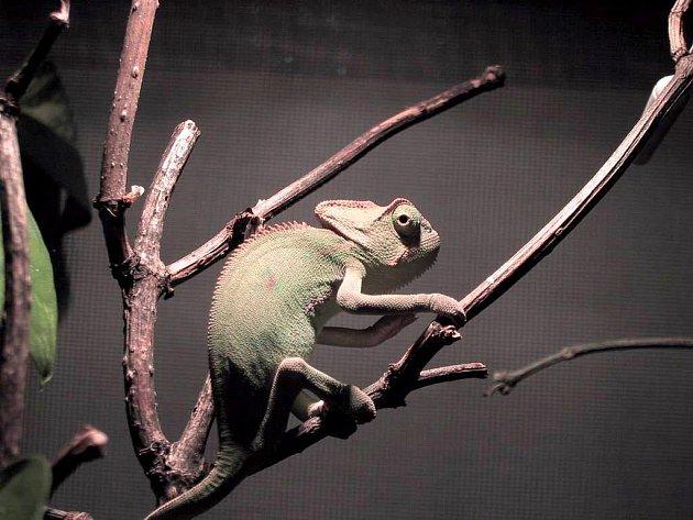 V Národním zemědělském muzeu – Muzeu vinařství, zahradnictví a životního prostředí ve Valticích je k vidění například chameleon.