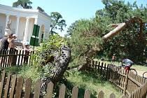 Proč je stará borovice bizarní?