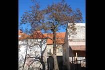Pokácení hrozí dosud stále chráněné pavlovnii plstnaté rostoucí u Dietrichštejnské hrobky v Mikulově.