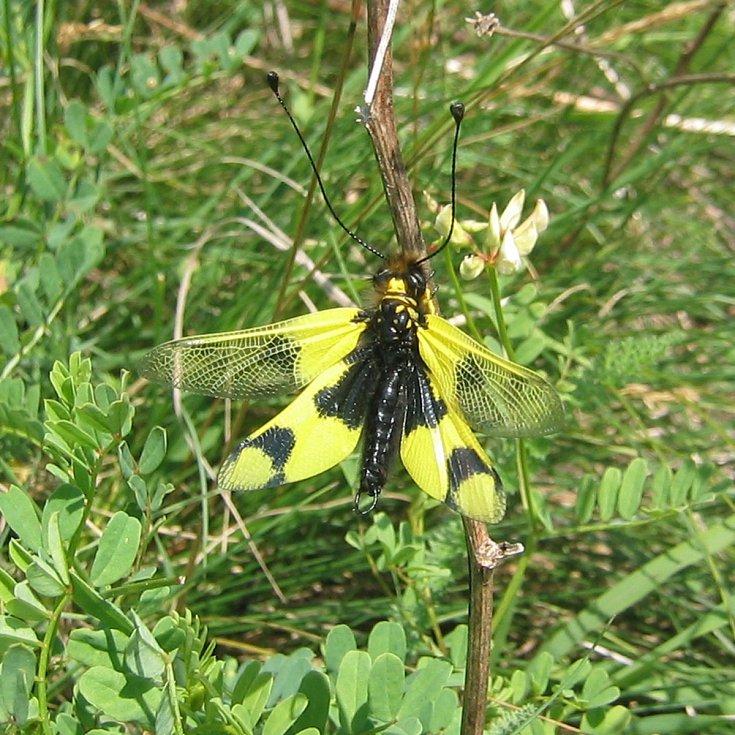 Ploskoroh pestrý je vzácným druhem hmyzu žijící na Pálavě.