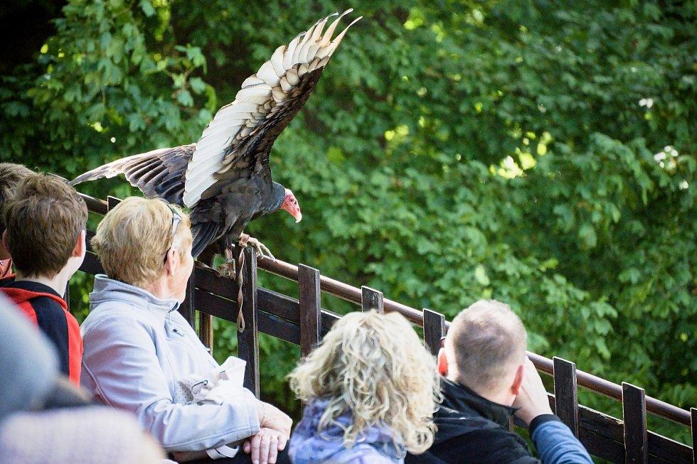 Nálety kondora krocanovitého. Letové ukázky dravců se vrátily do zámeckého parku v Lednici na Břeclavsku.