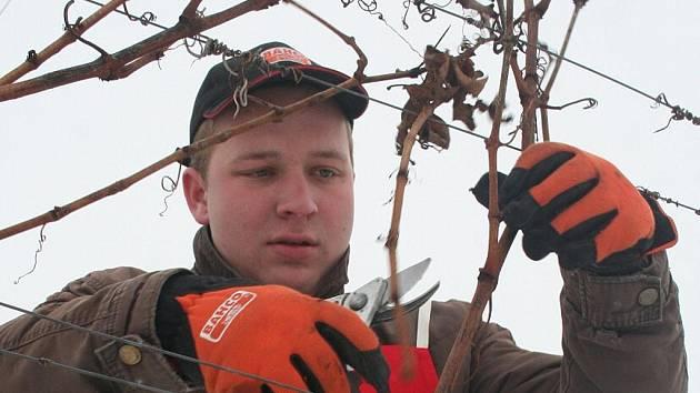 Zimní řez révy vinné ve Velkých Bílovicích.