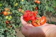 Rajčata na Hustopečsku napadl nebezpečný škůdce. Bojují s ním i pěstitelé ve Velkých Němčicích. Ústřední kontrolní a zkušební ústav zemědělský již potvrdil první zaznamenaný výskyt makadlovky (Tuta absoluta) v regionu.