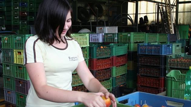 Sklizeň meruněk zaměstnala v Kobylí na sto šedesát brigádníků. Někteří trhají ovoce v sadech, jiní ho třídí v hale.