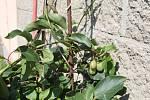 Miroslav Effenberger z Přibic pěstuje doma na zahradě fíky, olivy i kiwi.
