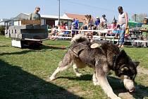 Patnáctý ročník Hustopečského pullingu přilákal čtyřiatřicet psů. Zvítězila polská fenka Jazda, která utáhla na vozíku tři tuny.