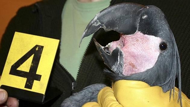 Pět vzácných papoušků kakadu palmových zabavili celníci na dálnici D2 u Břeclavi.