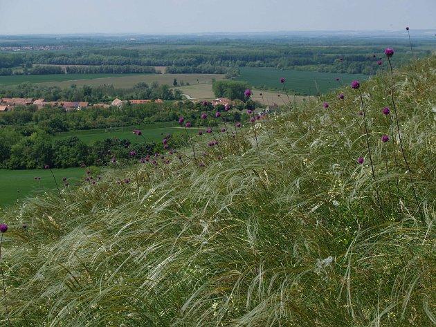 Na Pouzdřanské stepi se daří ipanonskému stepnímu trávníku.