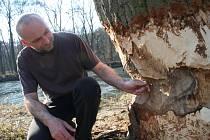 Vilém Vyhnálek z břeclavské radnice ukazuje škody na jednom z topolů, které napáchali bobři.