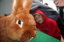 Výstava králíků, holubů a drůběže v Ladné.