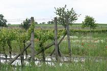 Zaplavené vinohrady v Týnci.