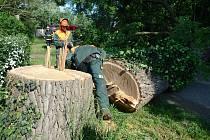 Vandal nařezal vzácný dub stojící u cesty k Pohansku. Museli ho pak porazit.